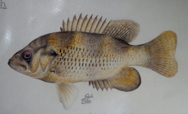 Rock Bass drawing circa 1997 (Grade 5)