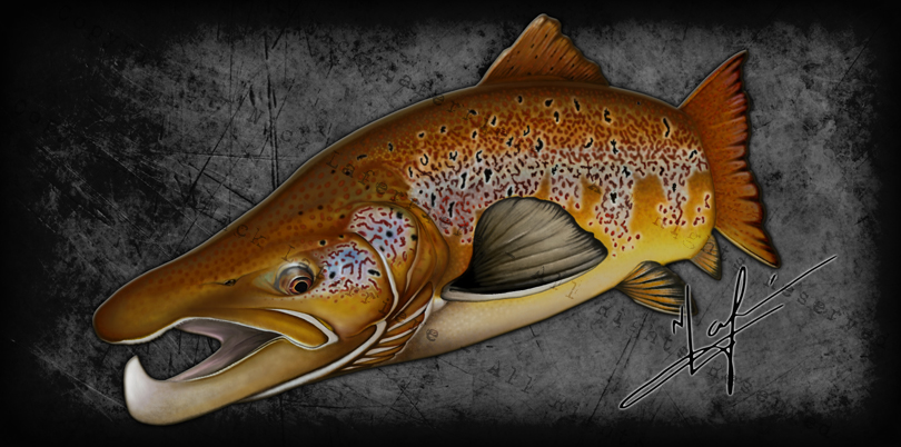 The King of Kypes, a big male Atlantic has the most pronounced and exaggerated kype out of all the salmonids. They look like a brown trout you stretched out and made to look even more menacing. Mixed Media - watercolour pencils and digital editing Original Artwork by Nick Laferriere