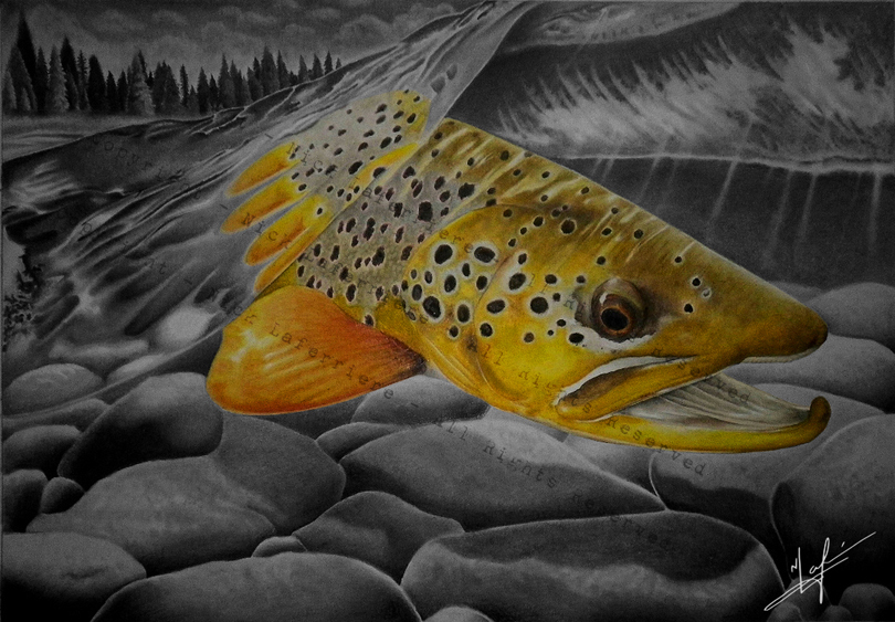 A cruising brown trout making quick work of cruising across a vulnerable shallow section to another one of its favorite hide outs. Watercolour Pencil and Graphite Pencil Original Artwork by Nick Laferriere