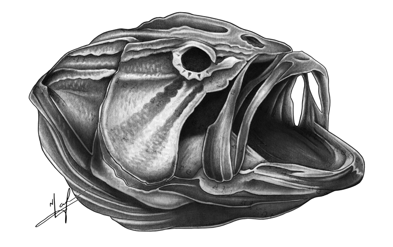 Largemouth Bass Skull Drawing small