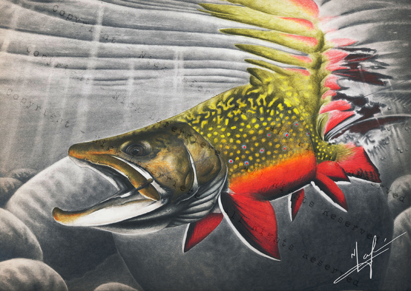 This drawing I did after my trip to God's River, depicting a brightly coloured male. A fully coloured male brook trout is arguably one of the most beautiful freshwater fish we have. Watercolour Pencils and Graphite Pencil Original Artwork by Nick Laferriere