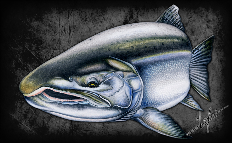 A fresh, chromed out Coho is a prize for any ocean salmon fisherman. Hard-fighting, with determined leaps, will test your gear and your wits.  Watercolour Pencils Original Artwork by Nick Laferriere