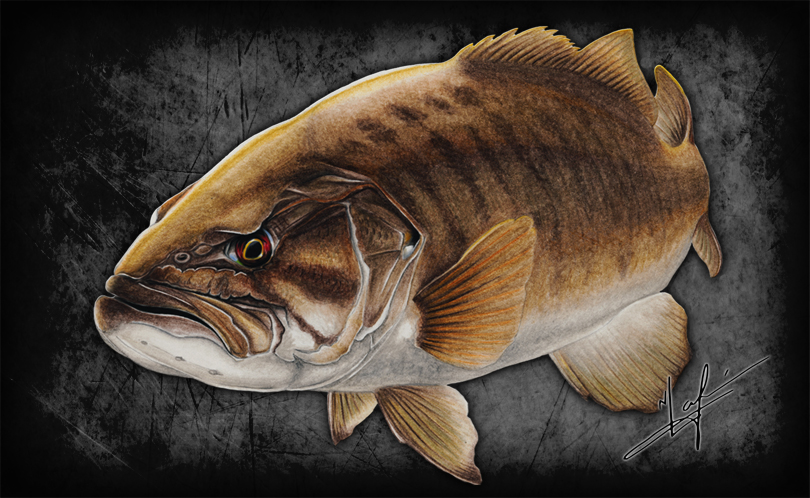 This drawing is featured on the back of the FISHBUM Nick Laferriere Signature Bronzeback jacket. Bass are one of my favorite confidence boosting fish. After a long winter and a spring of chasing trout, a day of bass fishing is refreshing. Watercolour pencils w/ digital background Original Artwork by Nick Laferriere