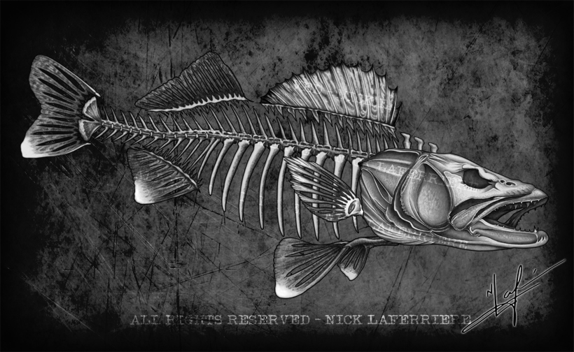Walleye have a unique and telltale body shape. With a spiny dorsal, protective gill plate, a mouthful of teeth, and armoured scales, walleye are built for not only deterring predators but they also are built for detecting prey, especially in low light situations. This skeleton is only available with FISHBUM Outfitters. Original pencil artwork by Nick Laferriere