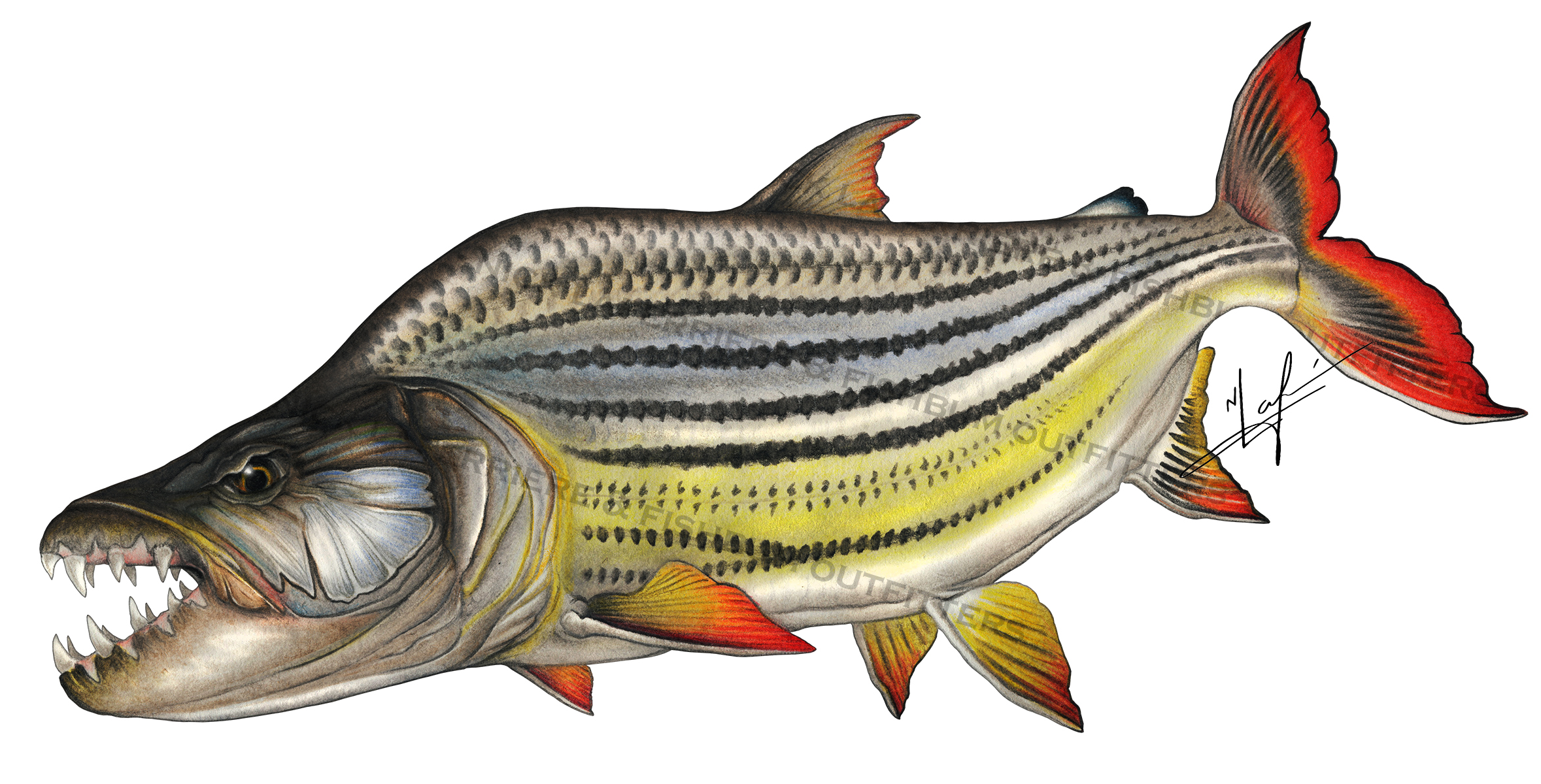 Commissioned tigerfish nick laferriere for Tiger fish pictures