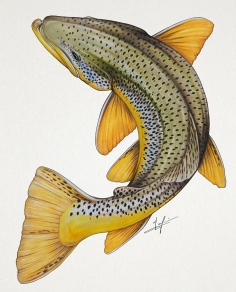 Circling Brown Trout
