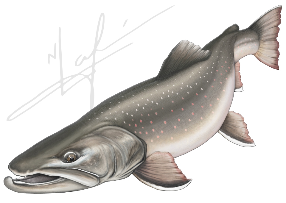 Columbia River Bull Trout drawing