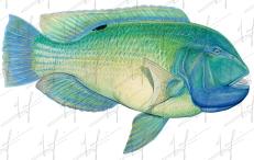 Blue Tusker
