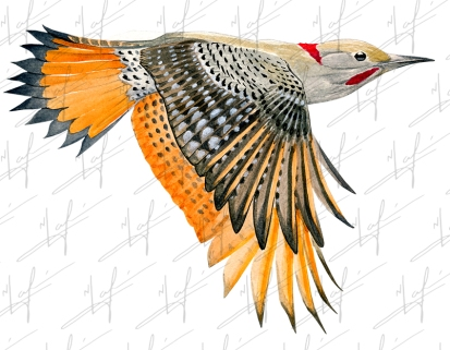 northern flicker copy