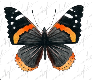 Red Admiral Butterfly 3