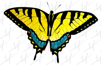 Tiger Swallowtail 1